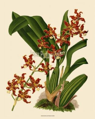 Oncidium Anthrocrene